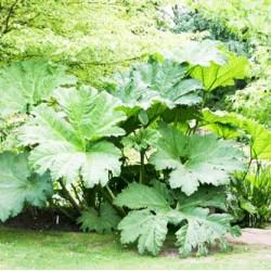 Το Φυτό των Δεινοσαύρων (Gunnera manicata) 20 σπόροι