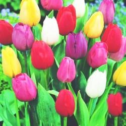 Τουλίπες Ανάμικτα Χρώματα! 4 Βολβοί