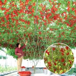 Ντομάτα Δέντρο Γίγαντας! 15 Σπόροι
