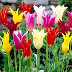 Τουλίπα Lily Ανάμικτα Χρώματα! 10 Βολβοί