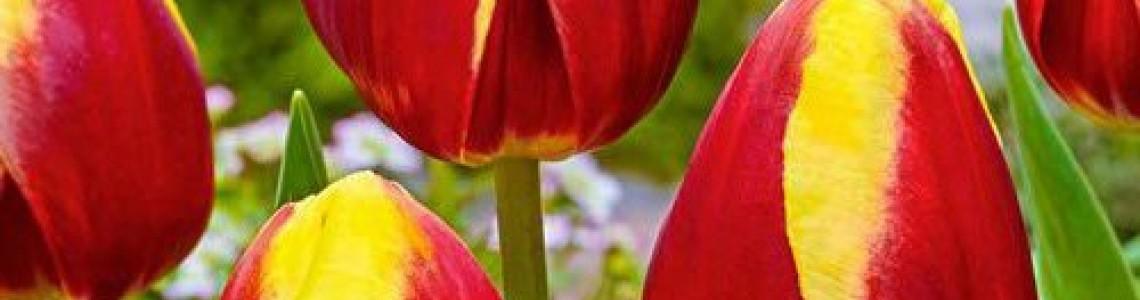 Τουλίπες - Βολβοί Τουλίπας  - Πληροφορίες Καλλιέργεια