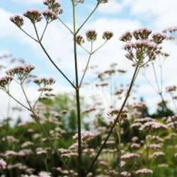 Βαλεριάνα (Valeriana Officinalis) 40 Σπόροι Βαλεριάνας