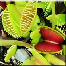 Διωναία (Dionaea Muscipula) 10 Σπόροι Μυγοπαγίδα Venus Flytrap