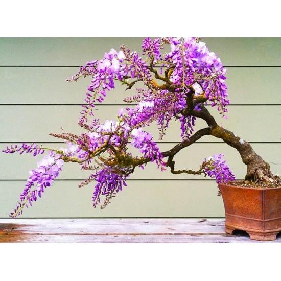 Μπονσαι Κιτ Σετ Δώρου / Καλλιεργείστε το δικό σας Bonsai!