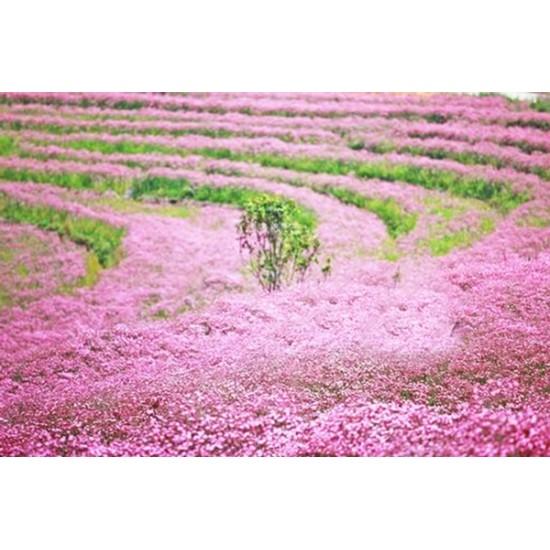 Γυψοφίλη Ροζ Ακροάστια Σπόροι 1γρ. Γυψοφίλης