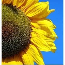 Ήλιος Γίγας 1γρ Σπόροι