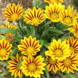 Γκαζάνια (Gazania Splendens) μιγμα χρωμάτων σπόροι 0,15γρ
