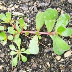 Γλυστρίδα 3γρ. Σπόροι Γλυστρίδας