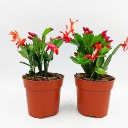 Υπομονη Φυτό σε γλάστρα κόκκινο 20 εκ
