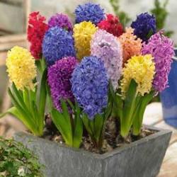 Ζουμπούλι Αρωματικό Ανάμικτα χρώματα 3 βολβοί
