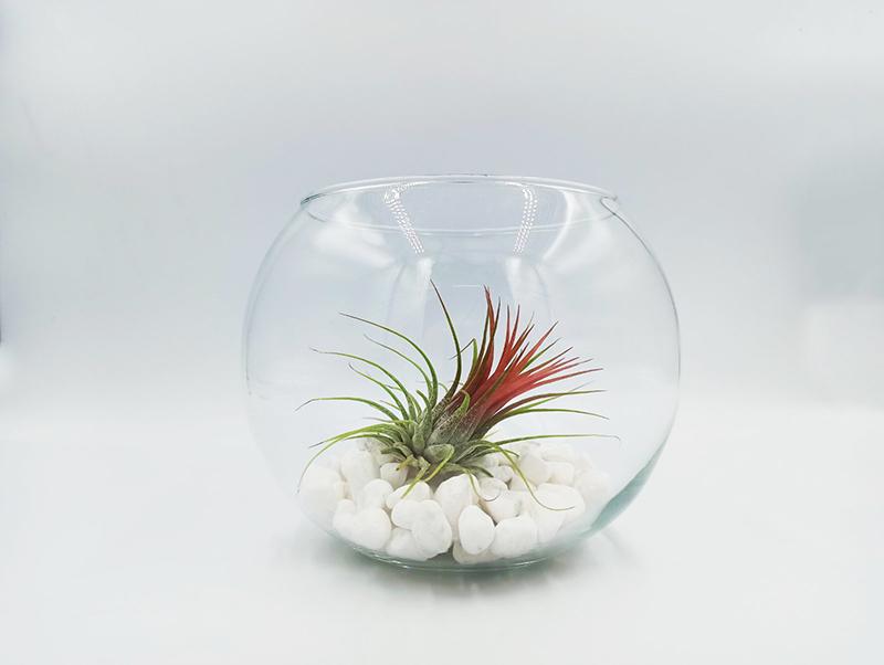 φυτα εσωτερικού χώρου - αερόφυτα