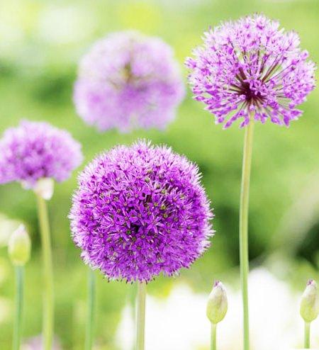 καλλωπιστικά φυτά allium