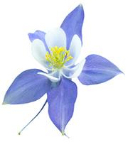 καλλωπιστικά λουλουδια ακουιλεγια