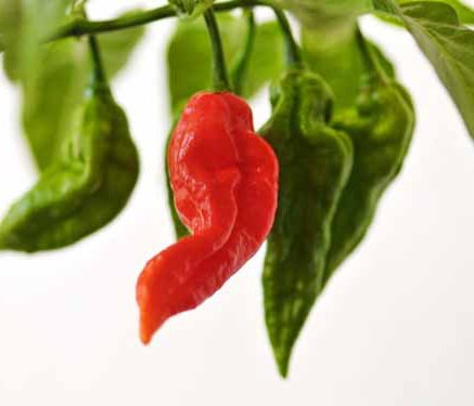 καυτερή πιπεριά jolokia ποικιλία καλλιέργεια