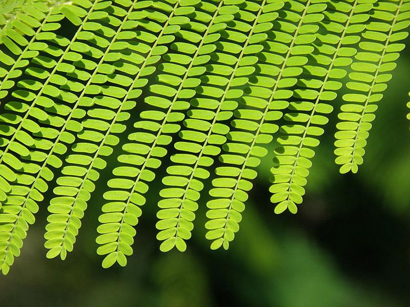 fylla flogodentro φλογοδεντρο φυλλα