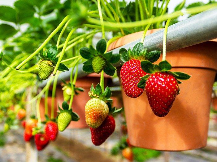φράουλα καλλιέργεια γλάστρα