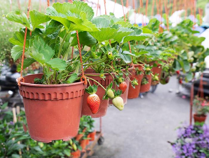 Φράουλες σε γλάστρες καλλιέργεια