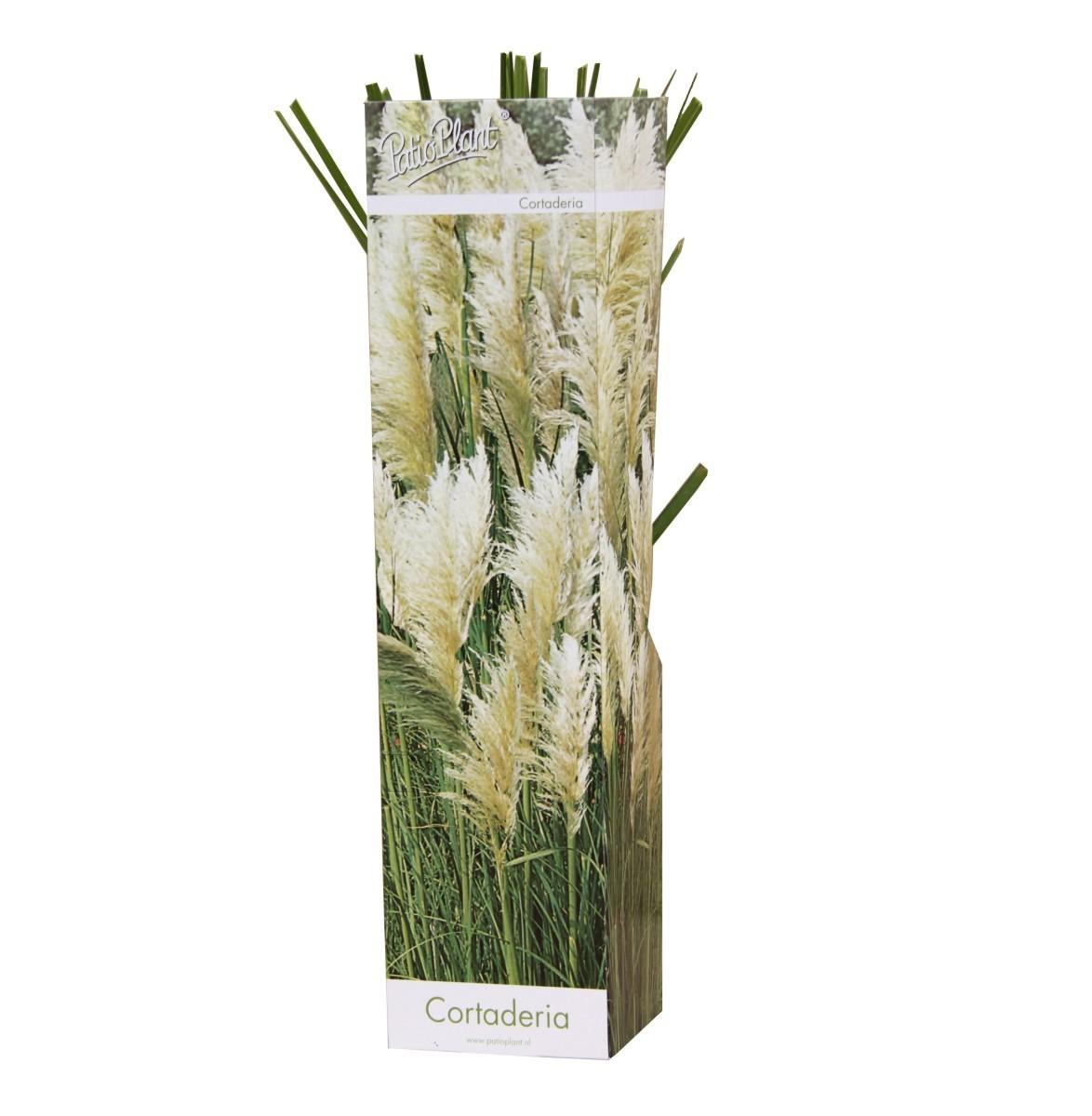 gynerio pampas grass