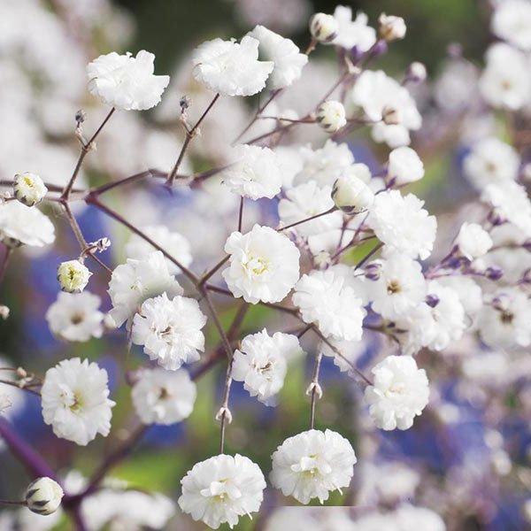 γυψοφίλη αρωματικό φυτό