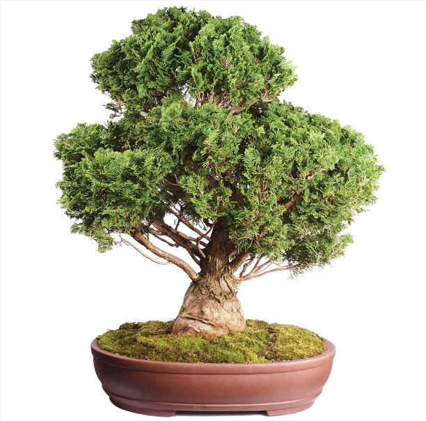 hinoki bonsai μπονσαι σποροι