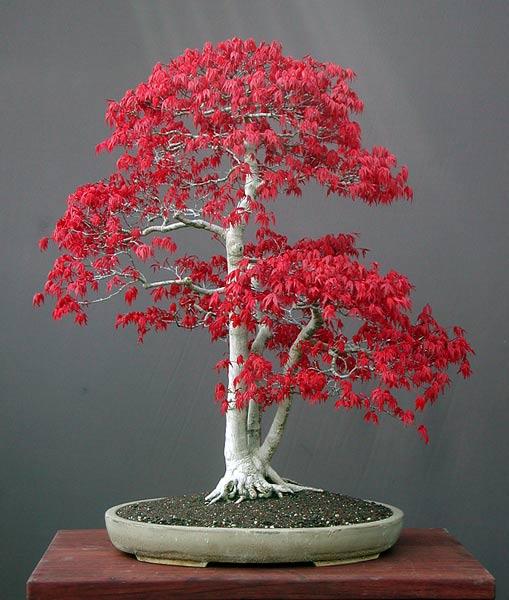 Ιαπωνικό Κόκκινο Πλατάνι