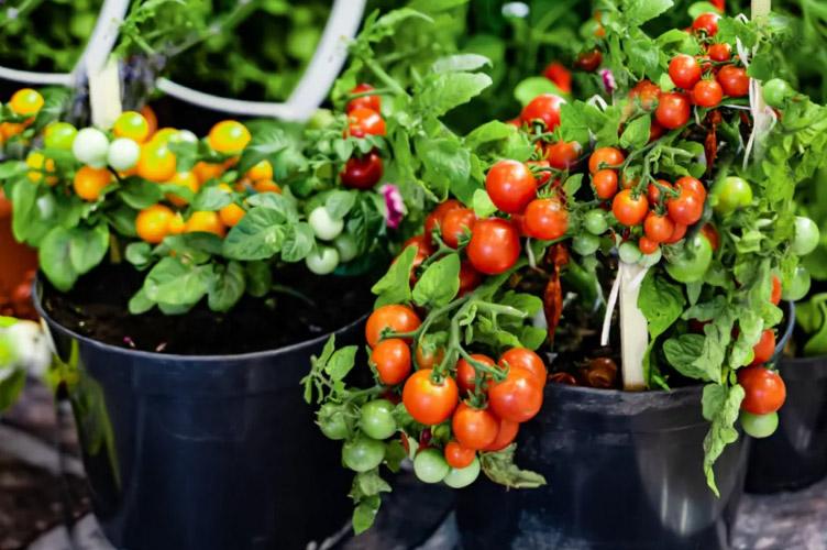 Ντομάτες σπόροι ντοματας