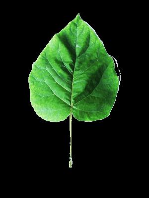 παυλωνια παουλοβνια φυλλο