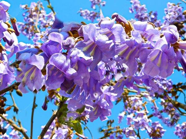 παβλωνια-λουλουδια