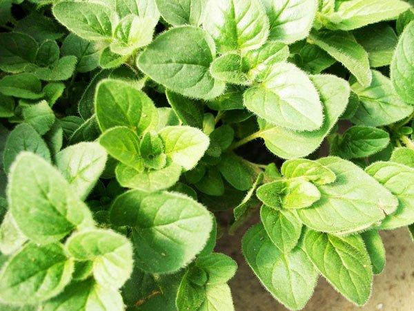 ρίγανη αρωματικό βότανο φυτό
