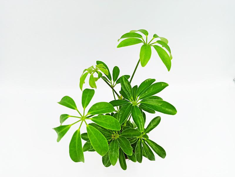 φυτα εσωτερικού χώρου - σέφλερα