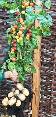 σολανο δεντρο ντοματες πατατες