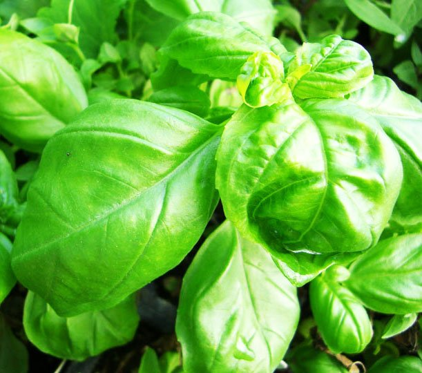 αρωματικά φυτά βότανα