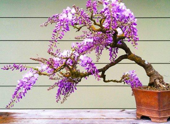 Βιστέρια wisteria bonsai σποροι
