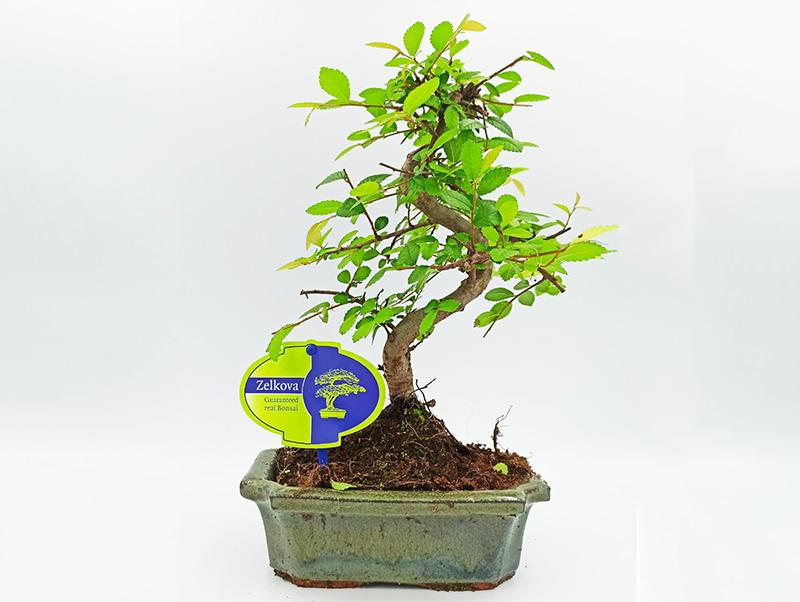 φυτό εσωτερικού χώρου μπονσαι